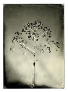 tin type plant